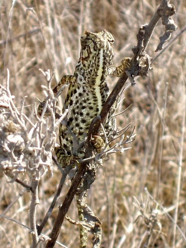 A Chameleon near the beach at Barbate